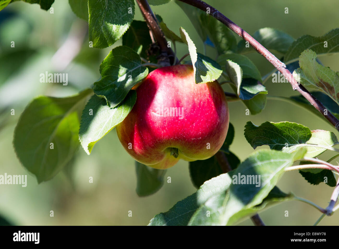 One apple - Stock Image