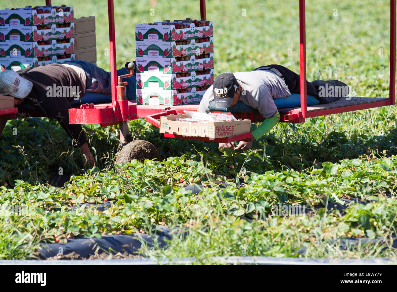 Machine strawberry picking - Stock Image