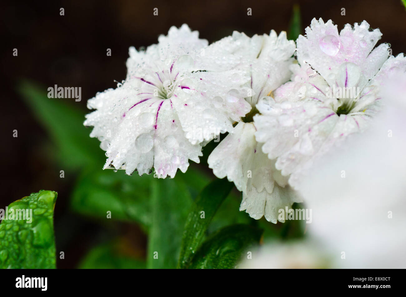 Close up white dianthus or sweet william flowers filled with dew close up white dianthus or sweet william flowers filled with dew drops mightylinksfo