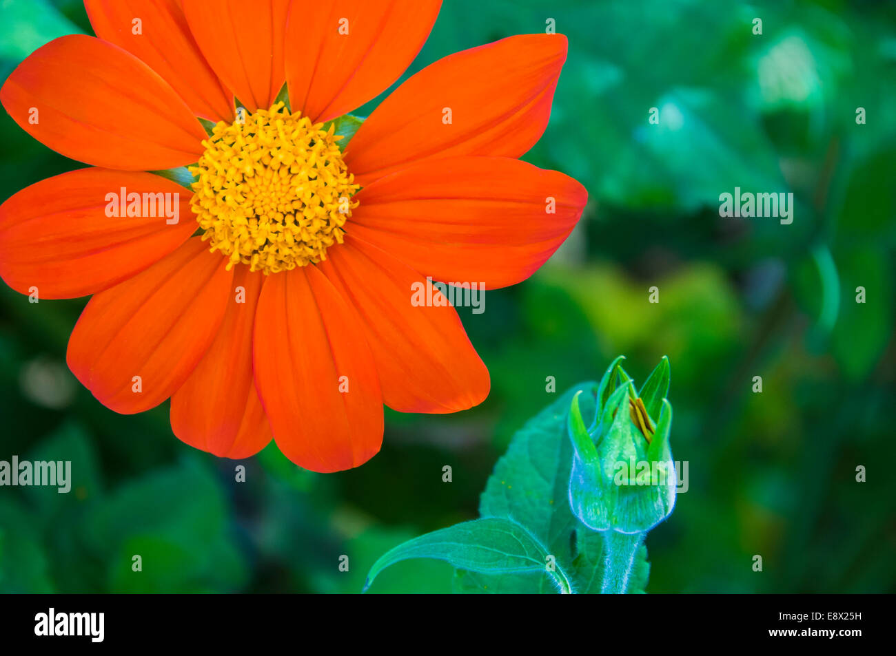 Bright reddish-orange and yellow single flower partnered with a large bud of the same flower. - Stock Image