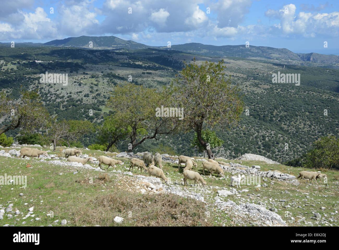 Flocks of sheep on mountainside, Monte Sant'Angelo, Gargano peninsula, Puglia, Italy - Stock Image