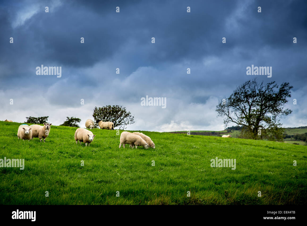 Flock of Sheep Under The British Weather - Stock Image