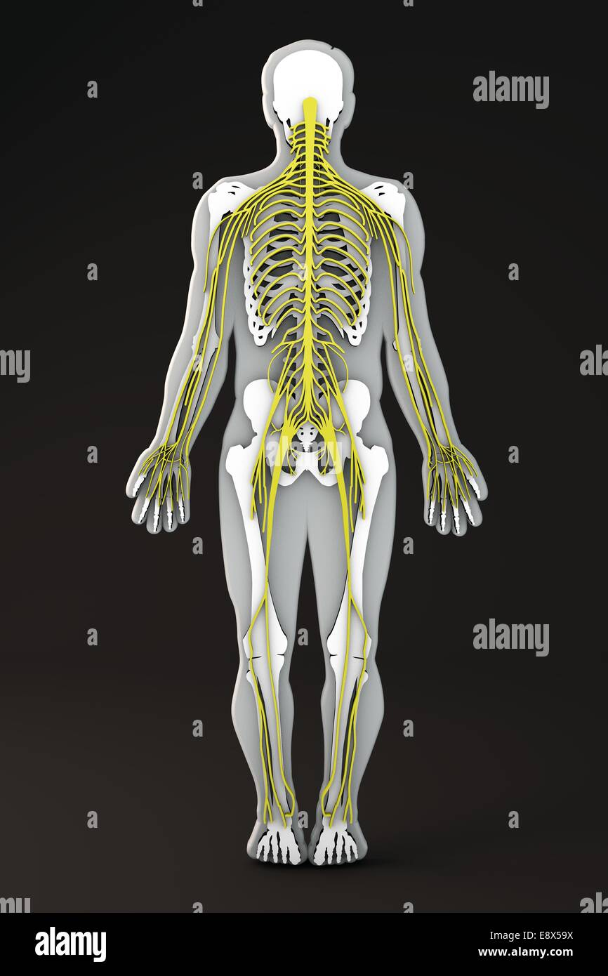 Section Of The Human Body Internal Apparatuses Body Shape Section