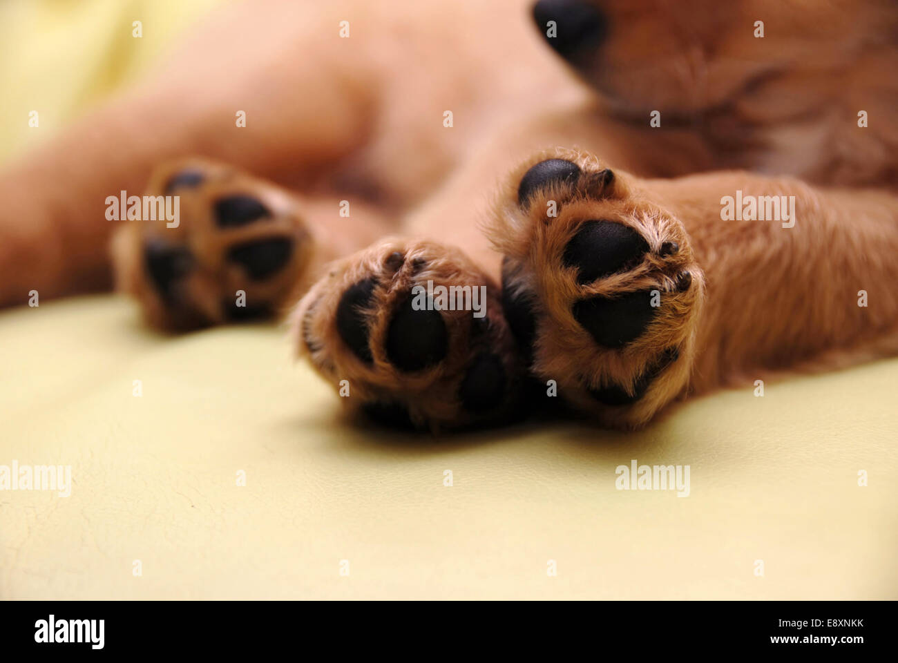 Paws of sleeping puppy - Stock Image