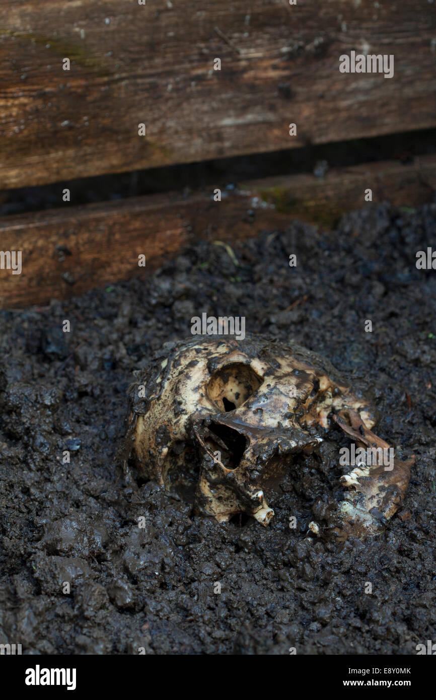 Real human skull figured as tragic scene Stock Photo