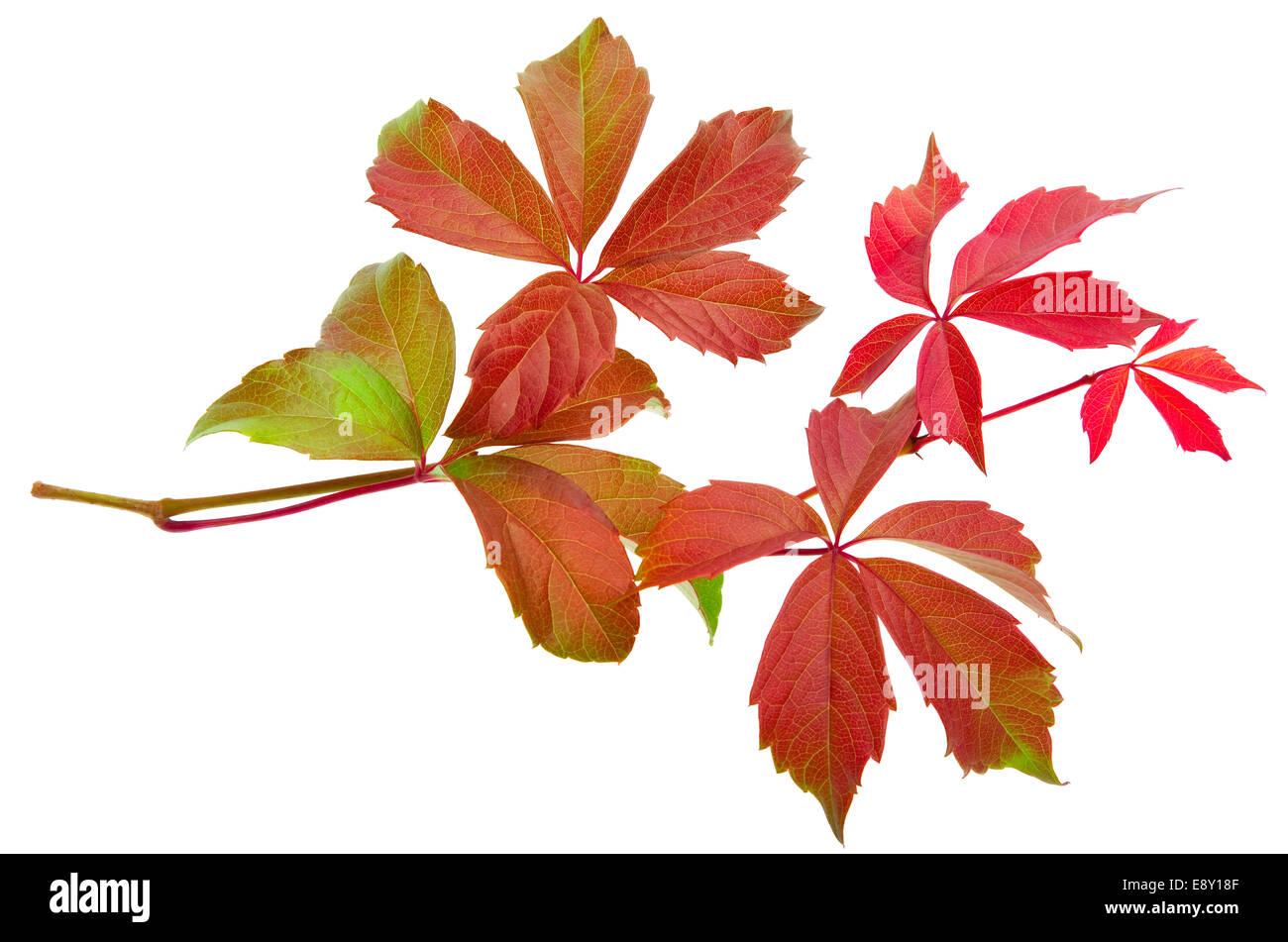 Vine Leaf Icon Stock Photos & Vine Leaf Icon Stock Images - Alamy
