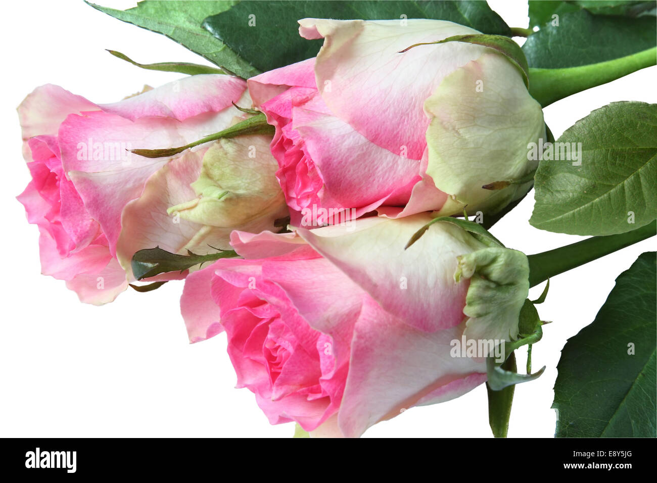 Bouquet of pink roses. Isolated on white Stock Photo