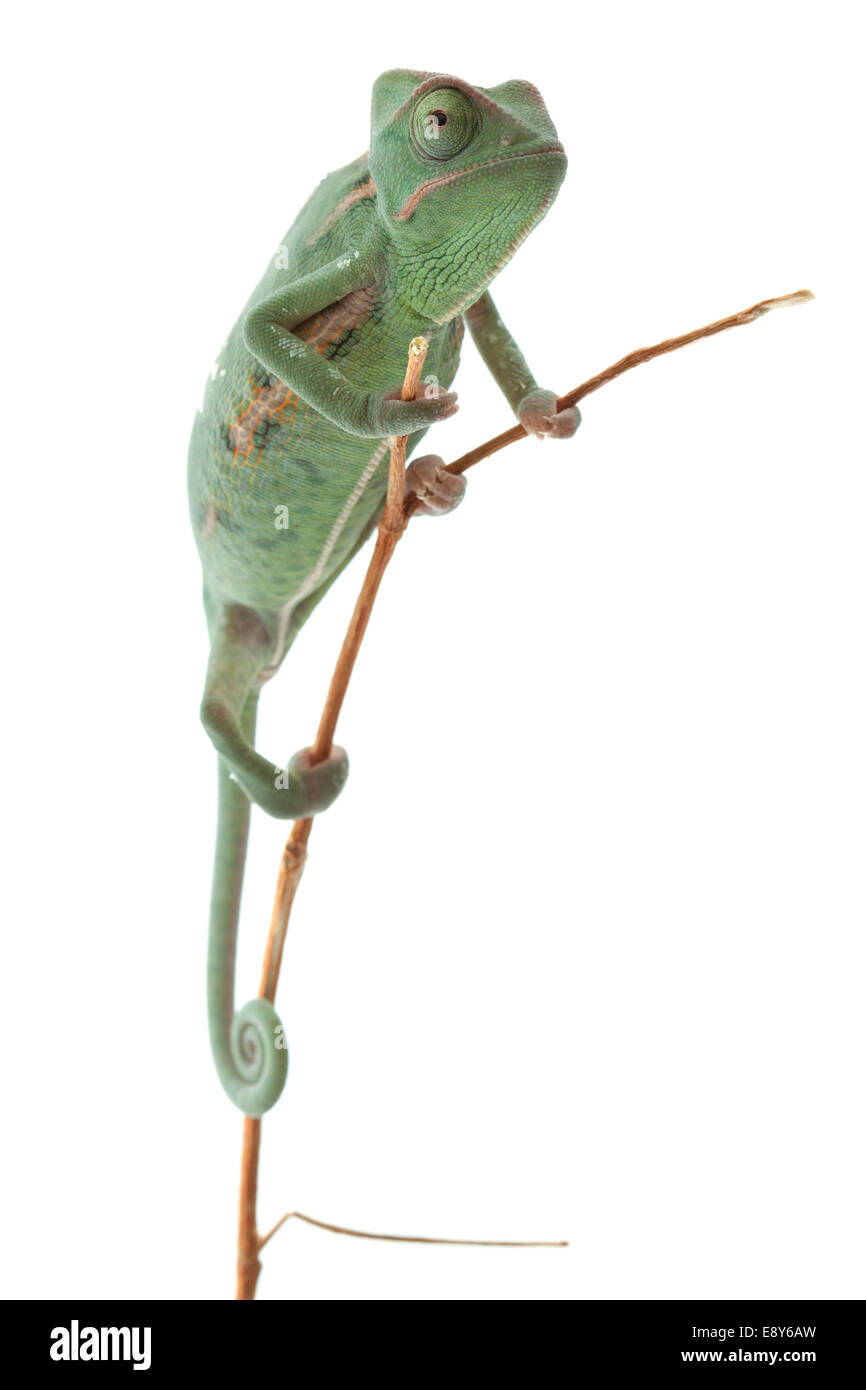 Green baby chameleon, focused on eyes Stock Photo