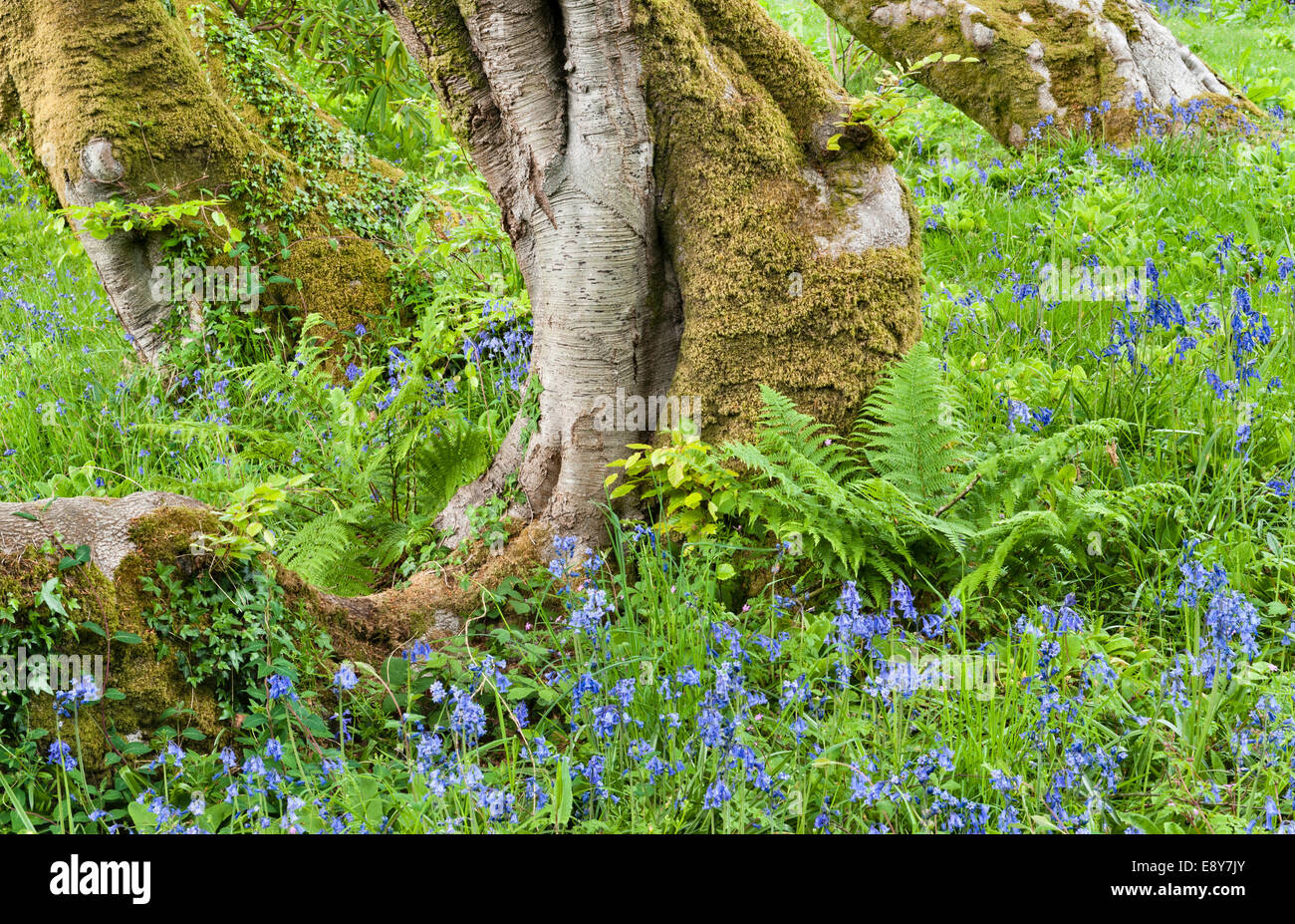 Tregrehan garden, Par, Cornwall, UK. Bluebells thrive in the woodland bordering the garden - Stock Image