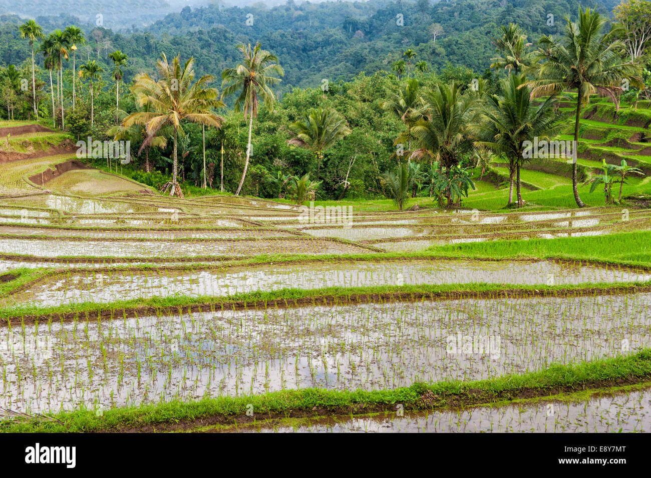 Rice terraces on the slope of the Kawah Ijen (Ijen crater), Banyuwangi, East Java, Indonesia, Asia - Stock Image