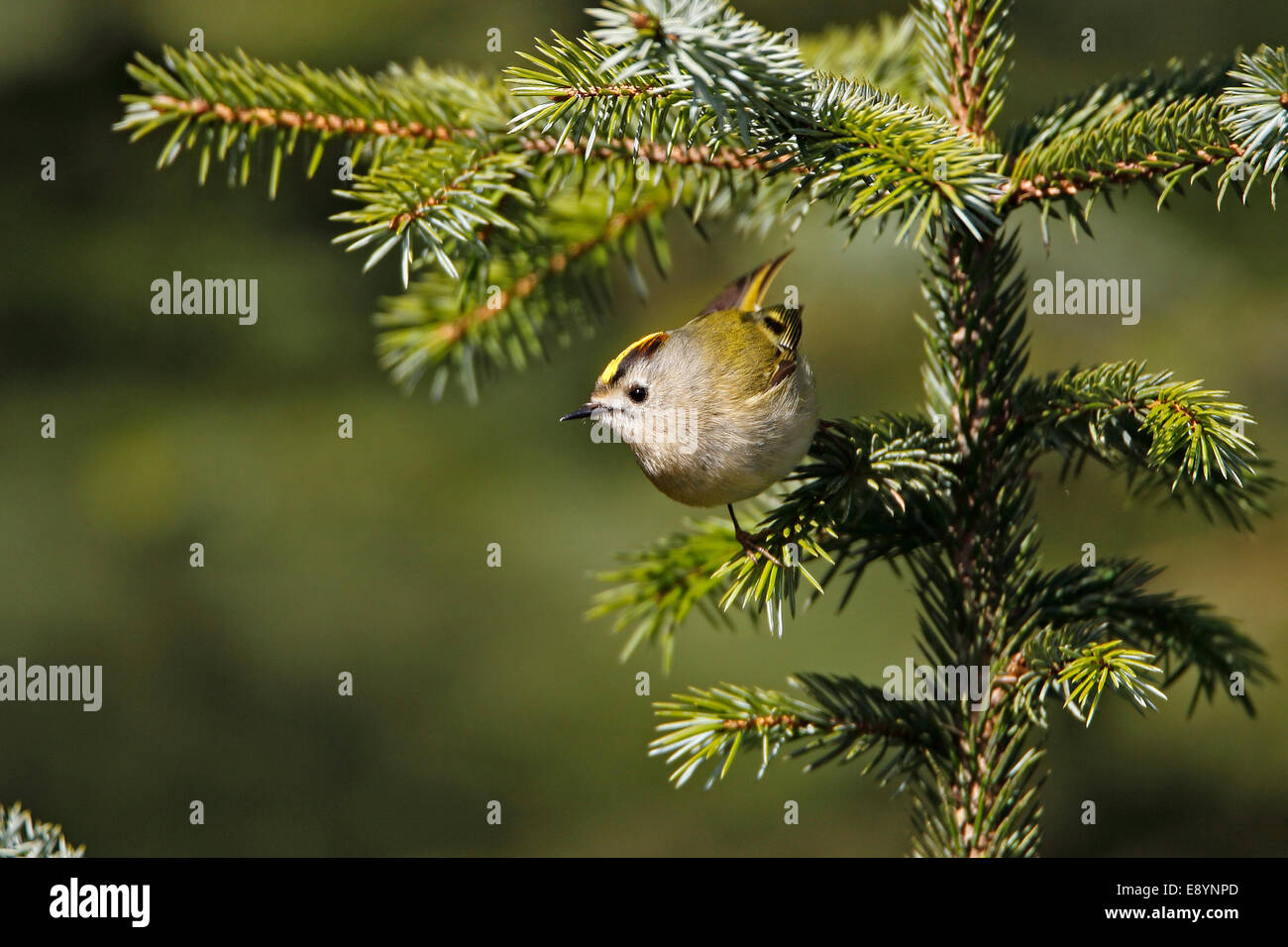 Goldcrest (Regulus regulus) perched in conifer forest North Wales UK May 54273 - Stock Image