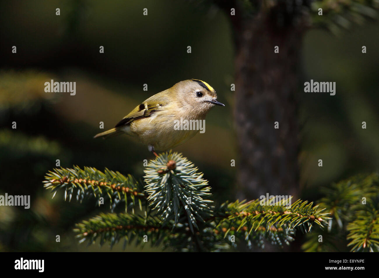 Goldcrest (Regulus regulus) perched in conifer forest North Wales UK May 54555 - Stock Image
