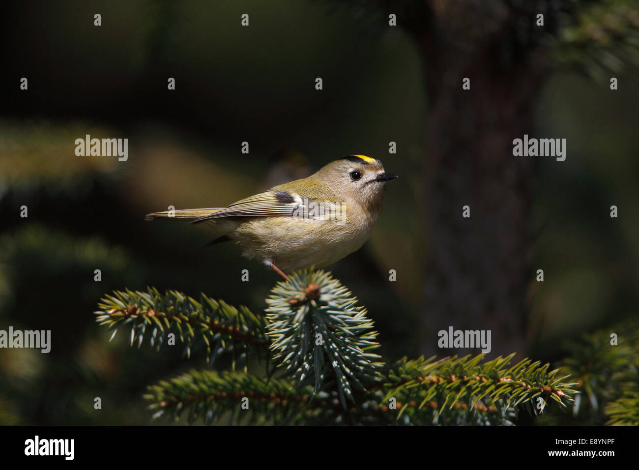 Goldcrest (Regulus regulus) perched in conifer forest North Wales UK May 54564 - Stock Image