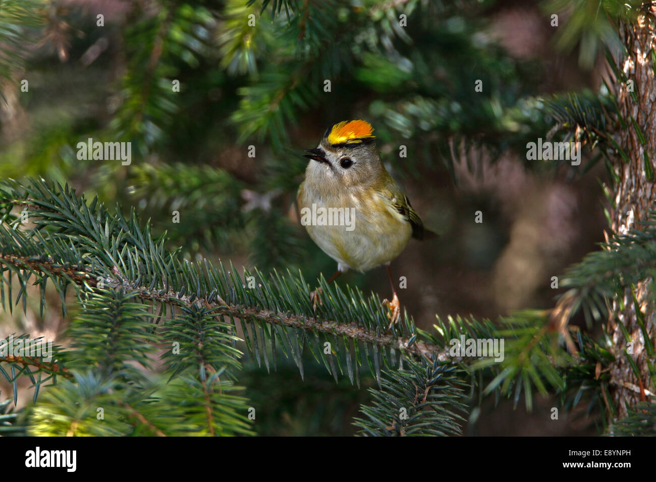 Goldcrest (Regulus regulus) flaring crest and singing in conifer forest North Wales UK May 54607 - Stock Image