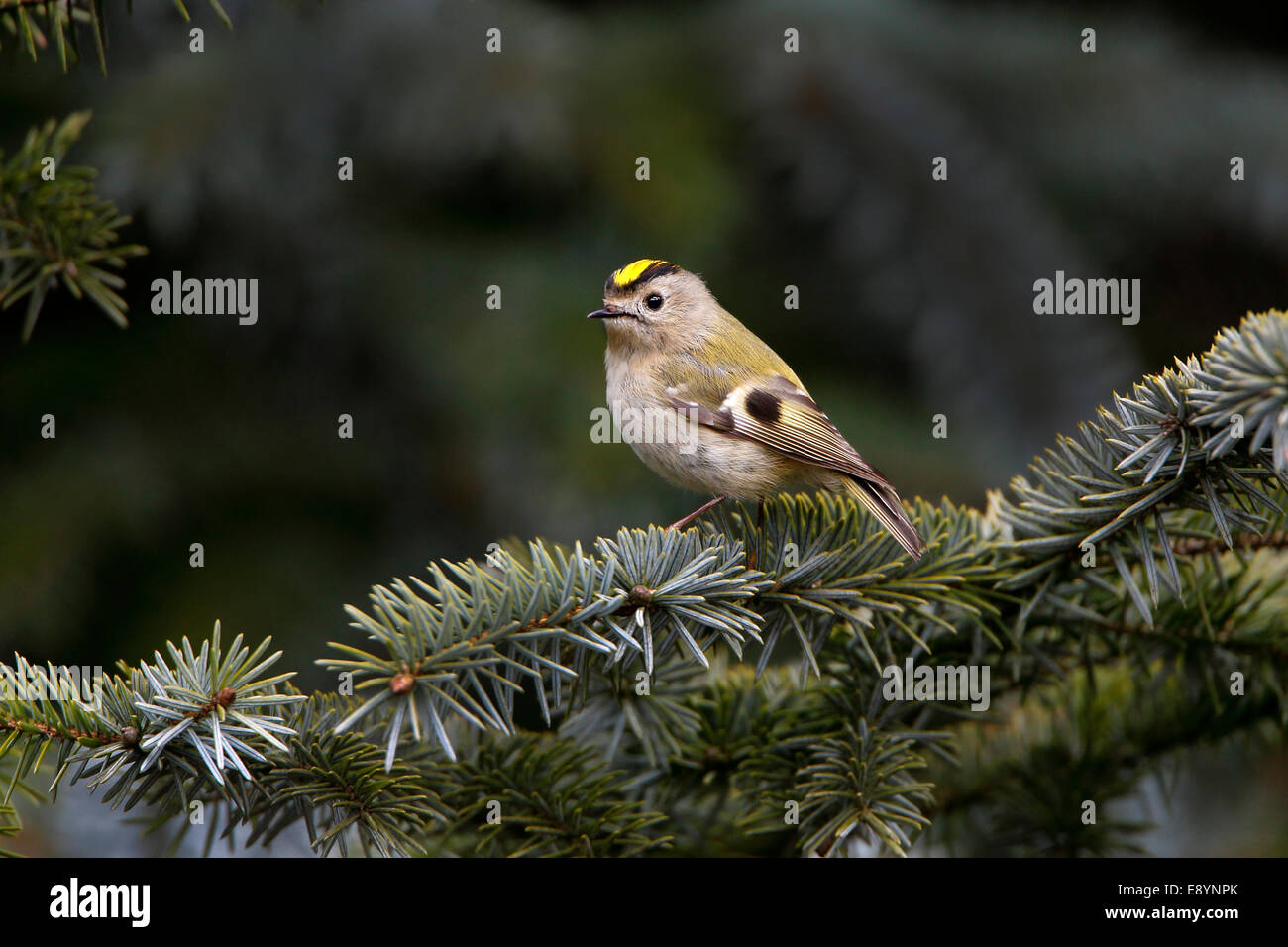 Goldcrest (Regulus regulus) perched in conifer forest North Wales UK May 54697 - Stock Image