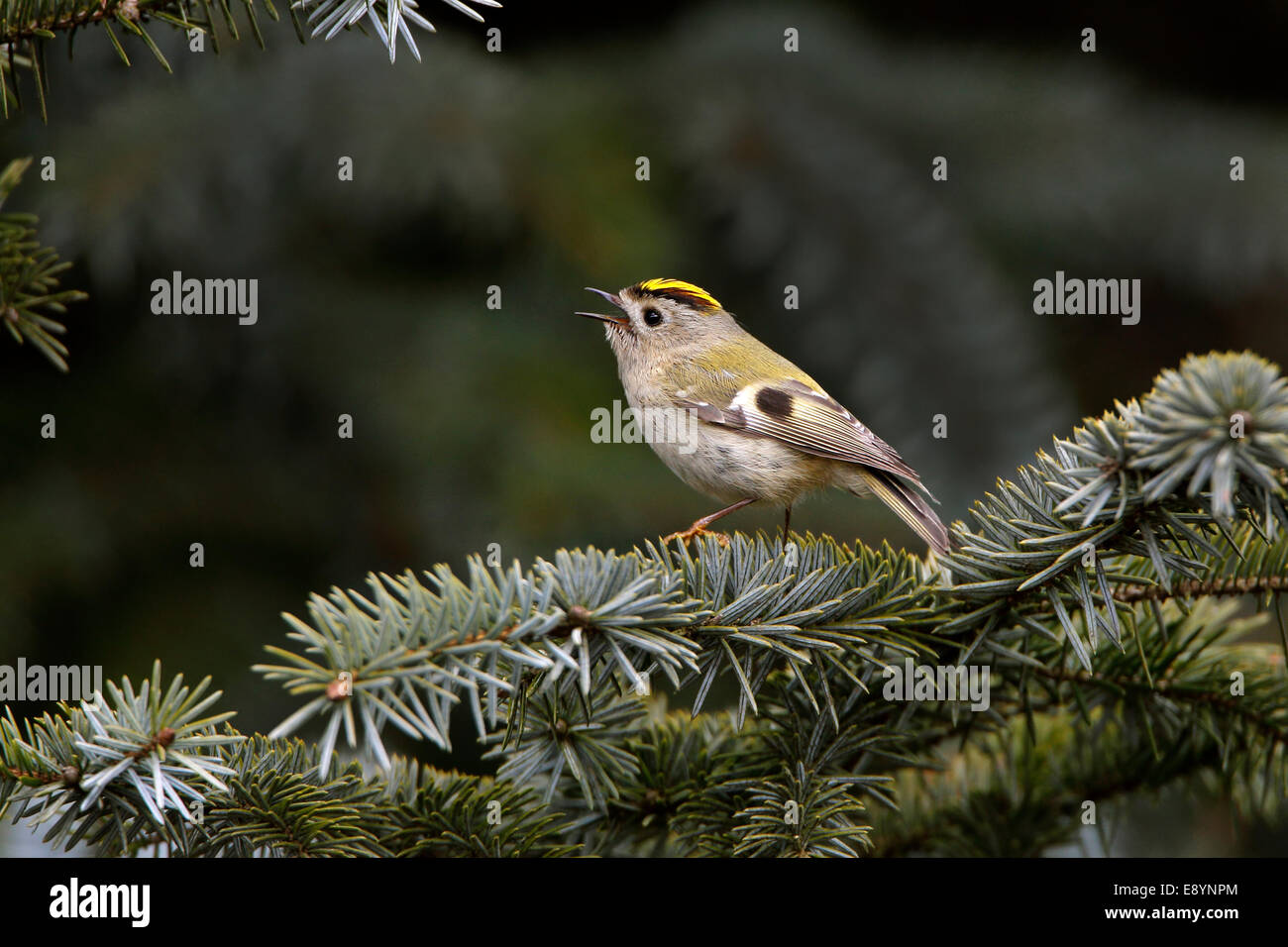 Goldcrest (Regulus regulus) singing in conifer forest North Wales UK May 54708 - Stock Image