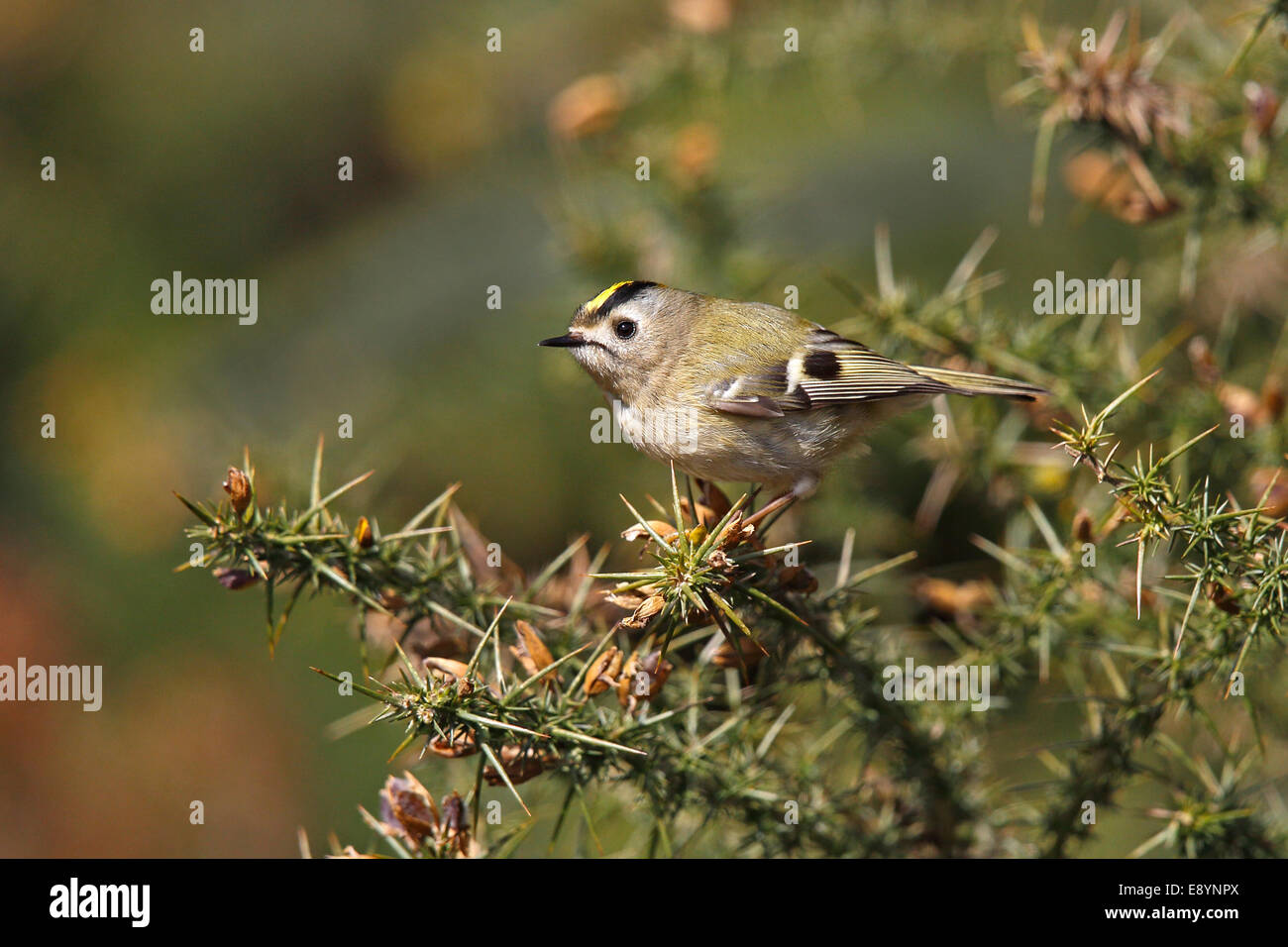 Goldcrest (Regulus regulus) perched on Gorse bush at edge of conifer forest North Wales UK May 56871 - Stock Image
