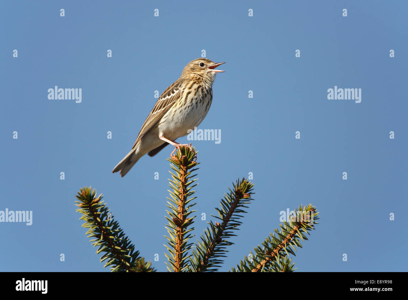 Tree Pipit (Anthus trivialis) singing in newly growing conifer forest North Wales UK May 55129 - Stock Image