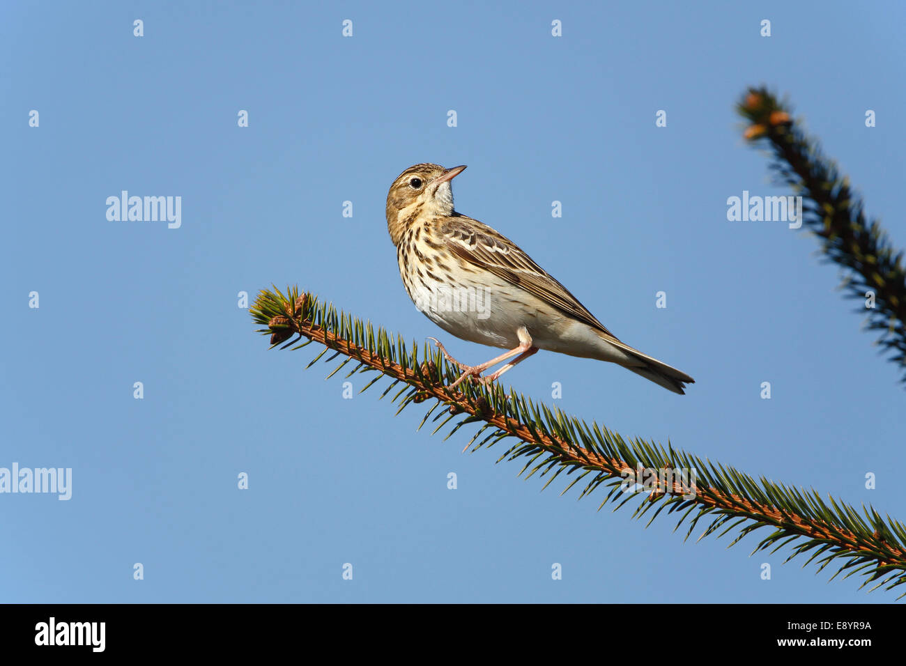 Tree Pipit (Anthus trivialis) perched in newly growing conifer forest North Wales UK May 55232 - Stock Image