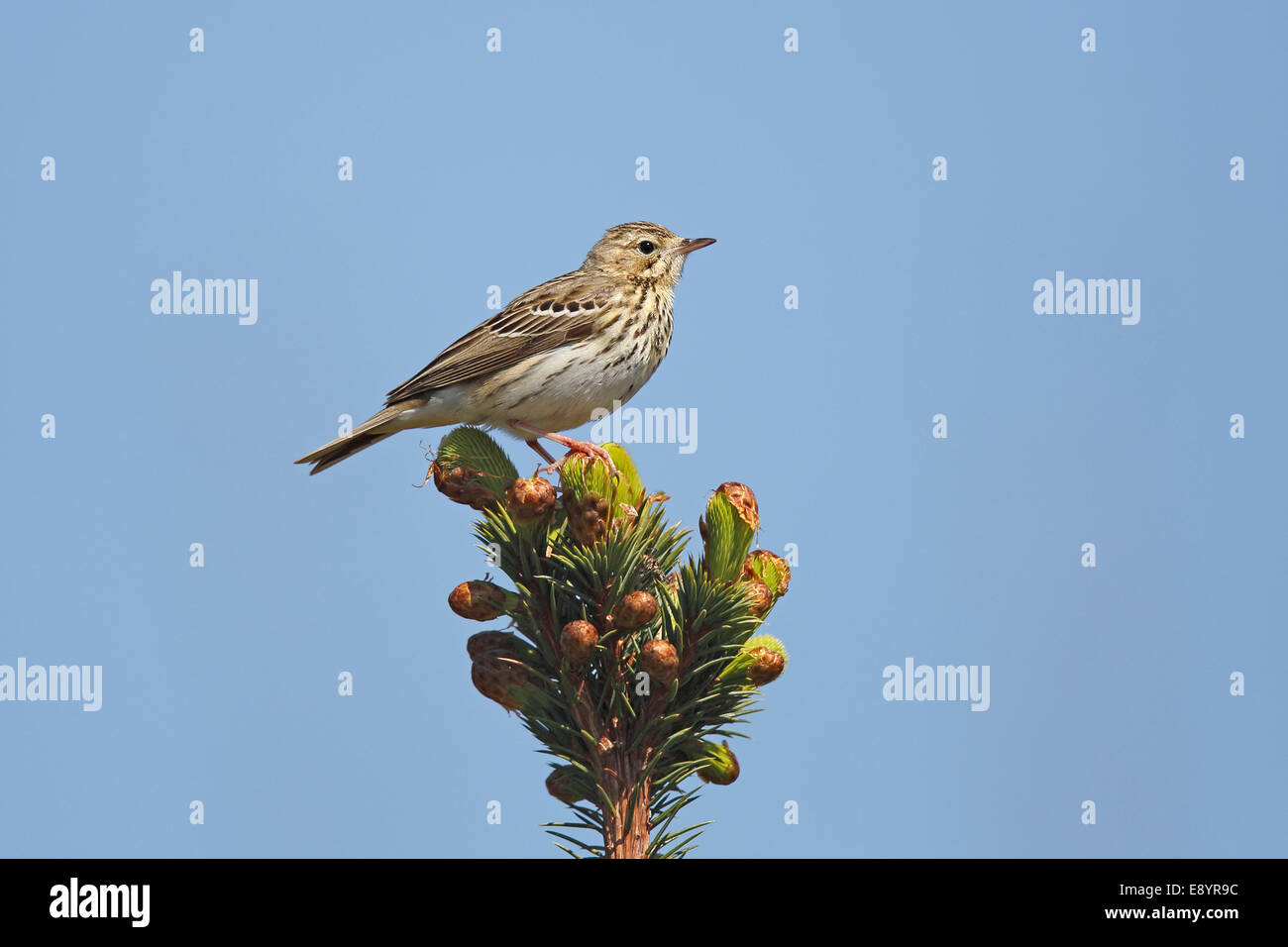 Tree Pipit (Anthus trivialis) perched in newly growing conifer forest North Wales UK May 58182 - Stock Image