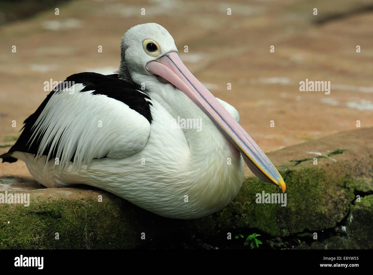 Australian pelican, Pelicanus conspicillatus, Pelecanidae, Bali Birds Park, Indonesia, Asia - Stock Image