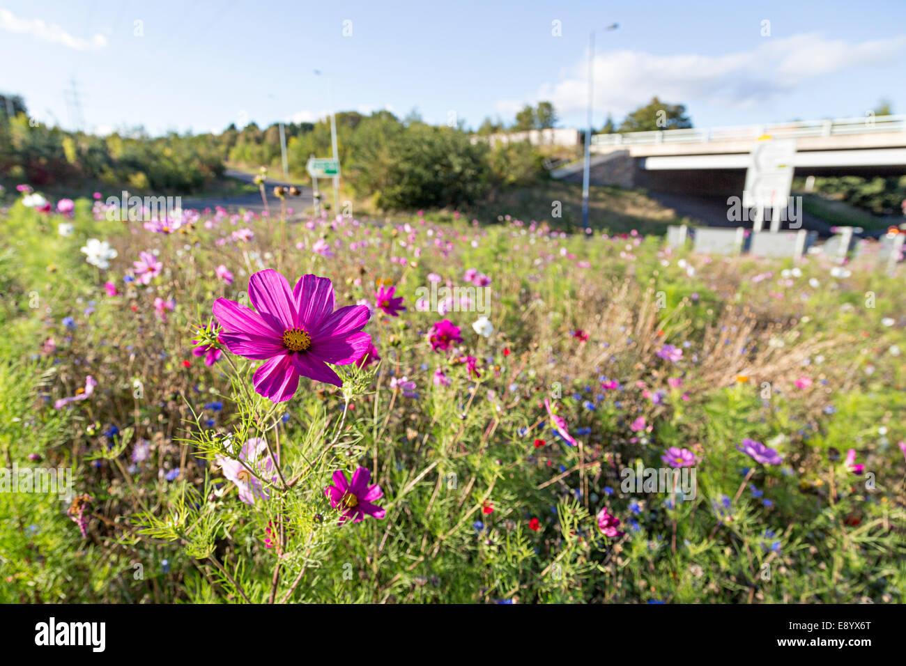Wildflowers planted on roundabout, Abergavenny, Wales, UK - Stock Image
