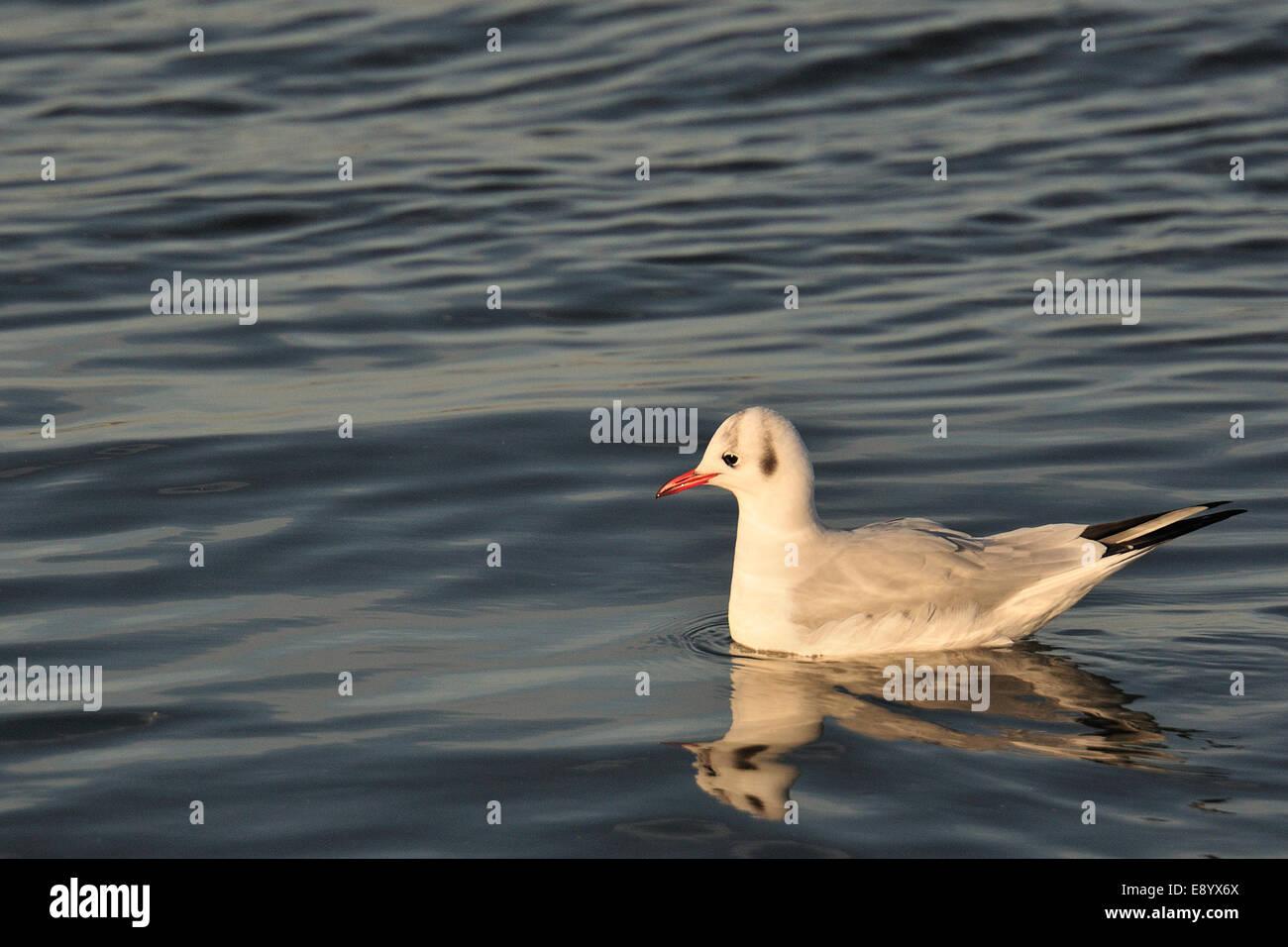 Black-headed gull, Larus ridibundus, Laridae, Dublin,  Ireland, Europe Stock Photo