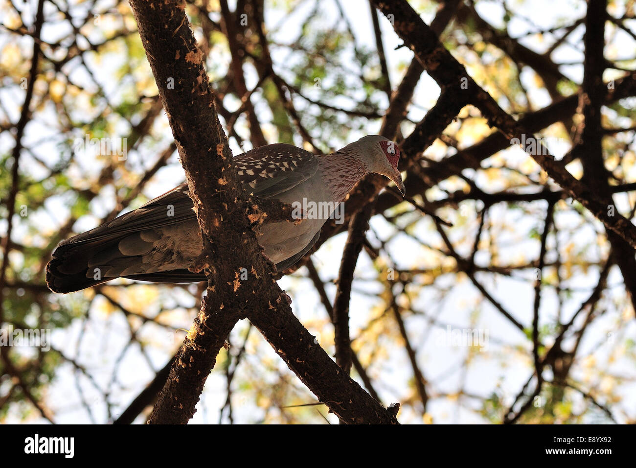 Speckled pigeon Columba guinea, Colombidae, Arna Minch, Ethiopia, Africa - Stock Image