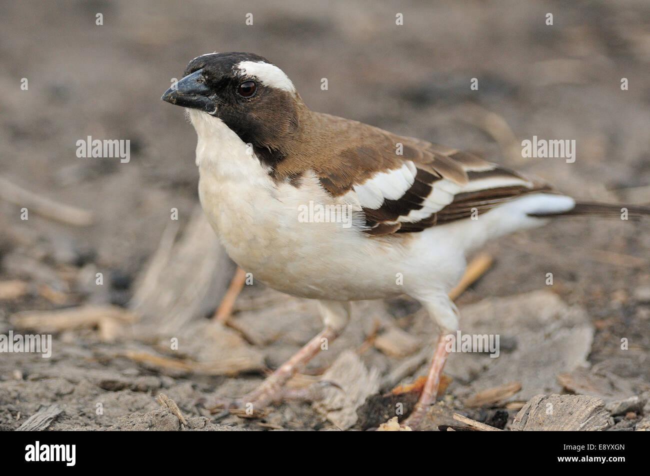 White-browed sparrow-weaver, Plocepasser mahali, Passeridae, Chawo Lake, Nechisar National Park, Arna Minch, Ethiopia, - Stock Image