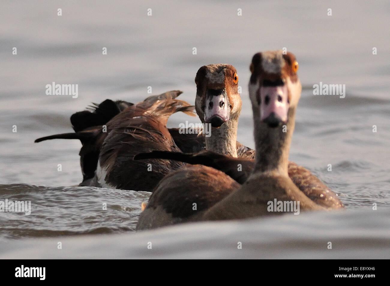 Egyptian goose Alopochen aegyptiacus, Anatidae, Chawo Lake, Nechisar National Park, Arna Minch, Ethiopia, Africa - Stock Image