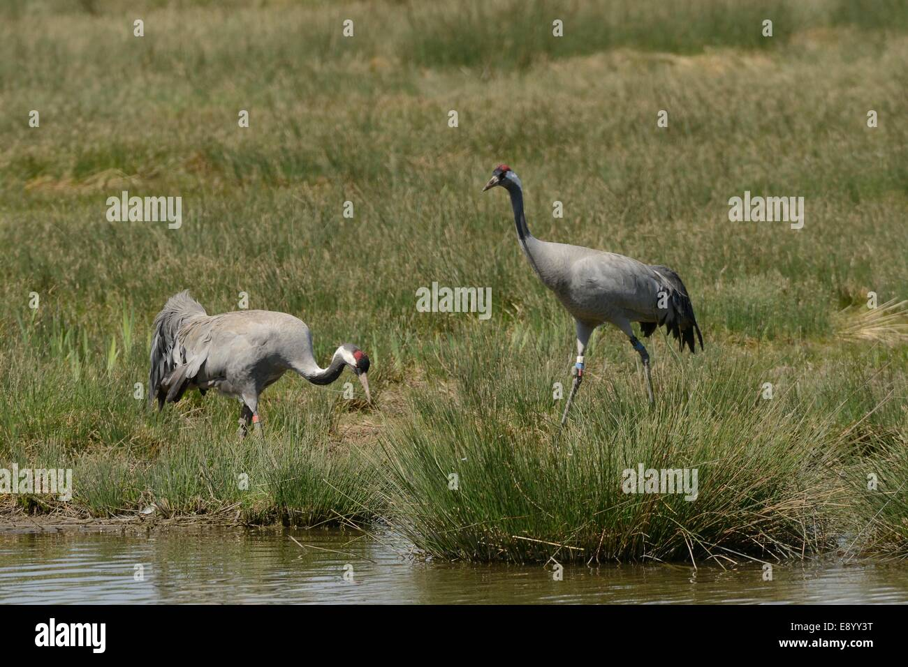 Common / Eurasian crane Grus grus, three year old pair Bart and Wendy released by the Great Crane Project foraging - Stock Image