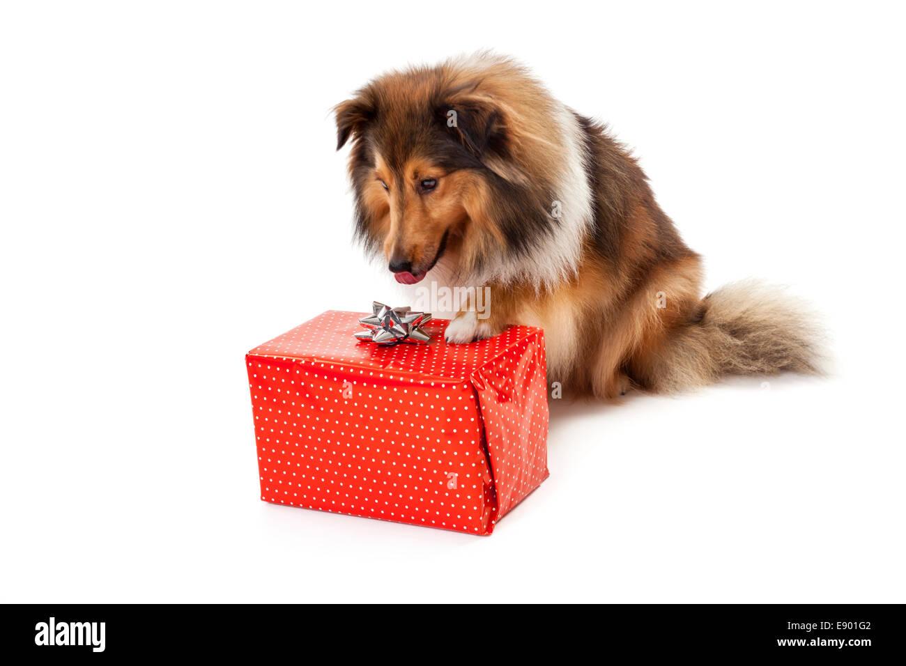 Shetland sheepdog staring at red gift box - Stock Image