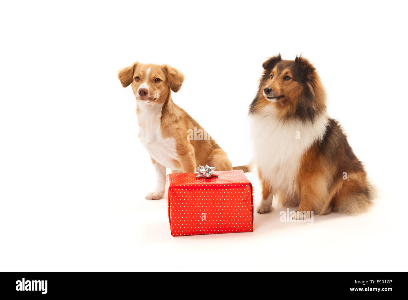 Two dogs over white background looking at red gift box - Stock Image