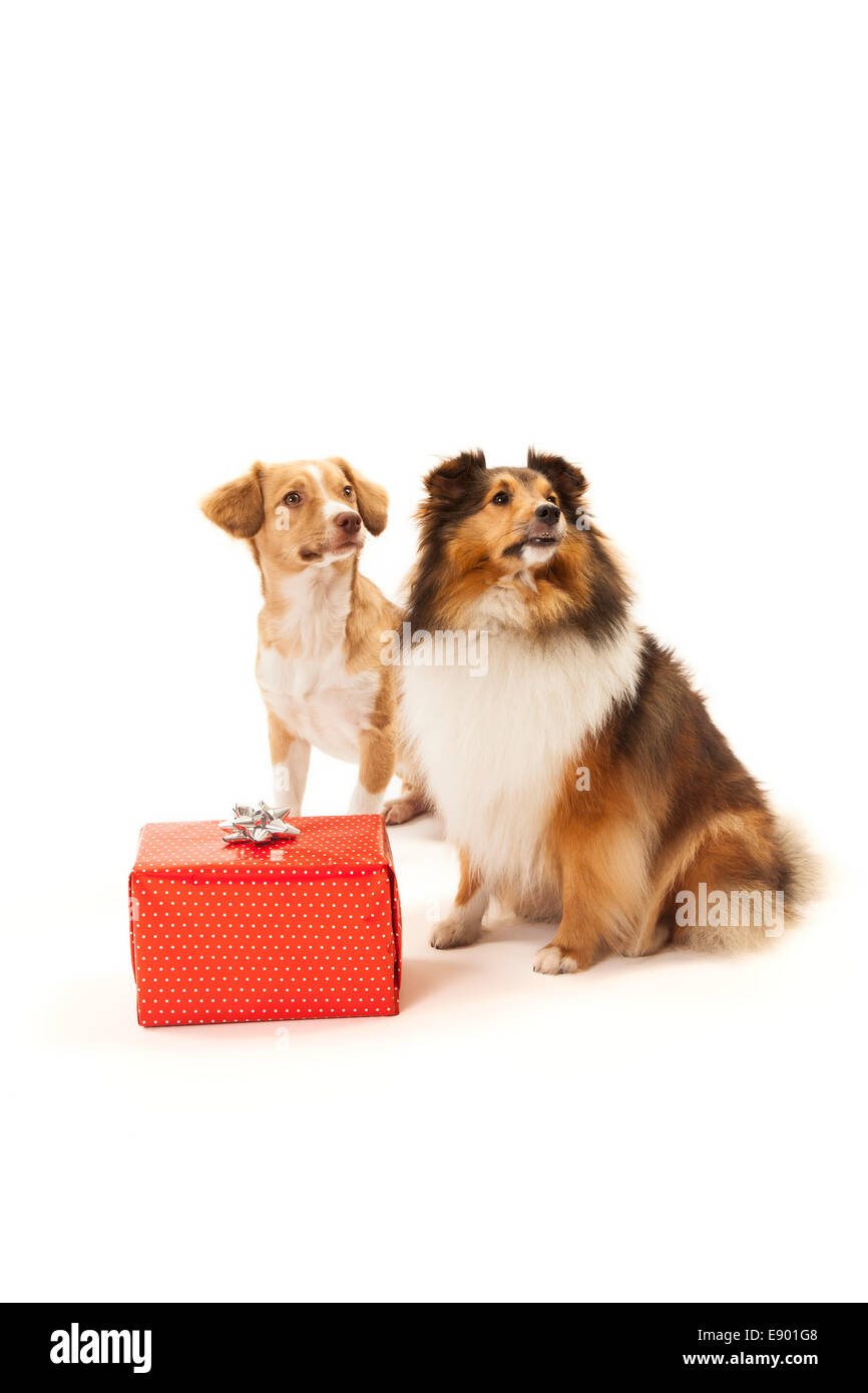 Dogs with christmas present. - Stock Image