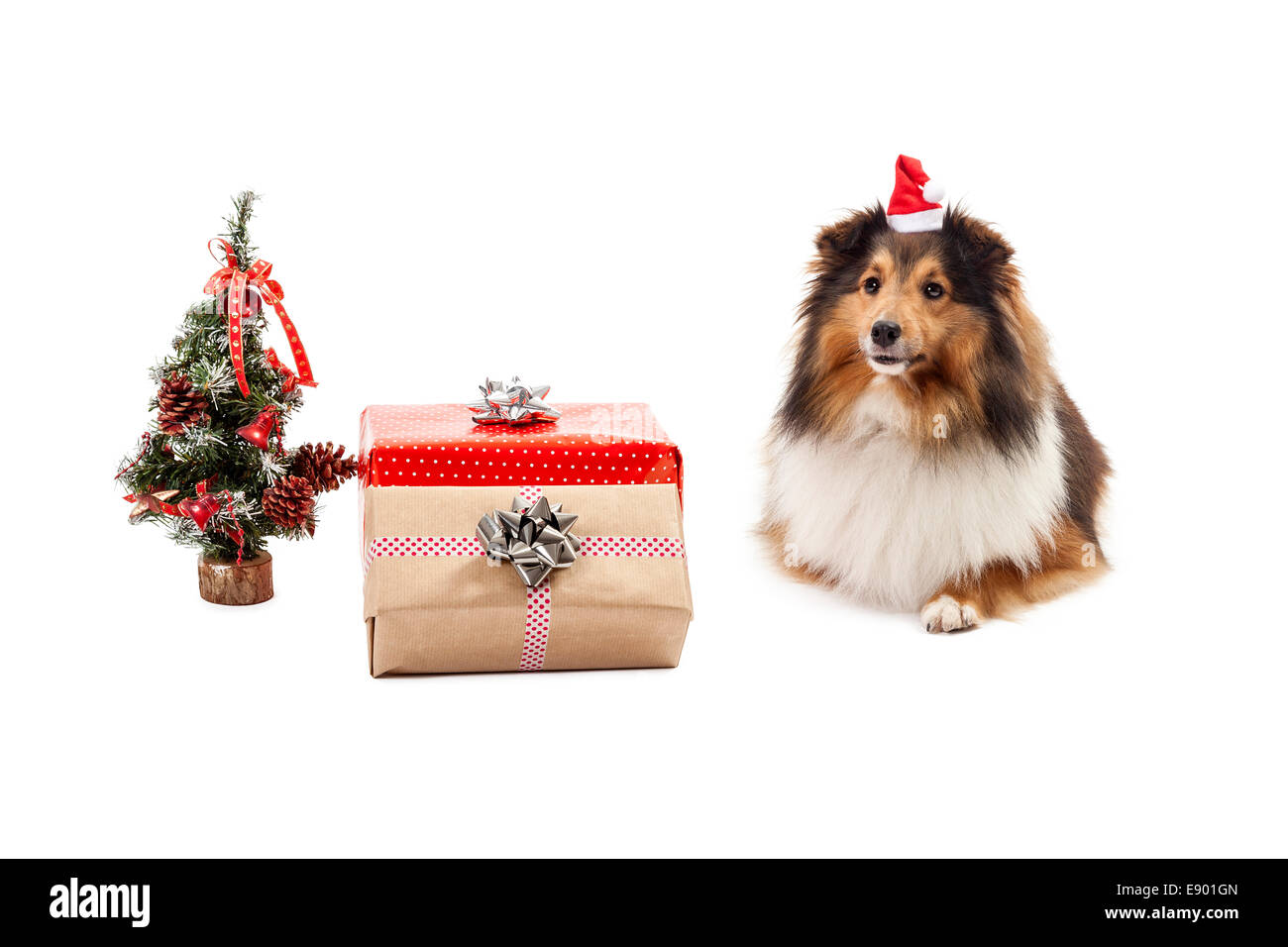 Shetland sheepdog with gifts and christmas tree over white background - Stock Image