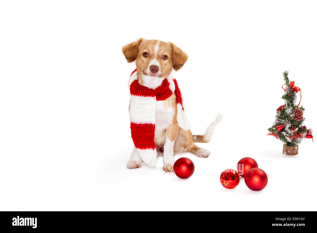 Portrait of cute dog wearing scarf beside christmas tree and baubles - Stock Image