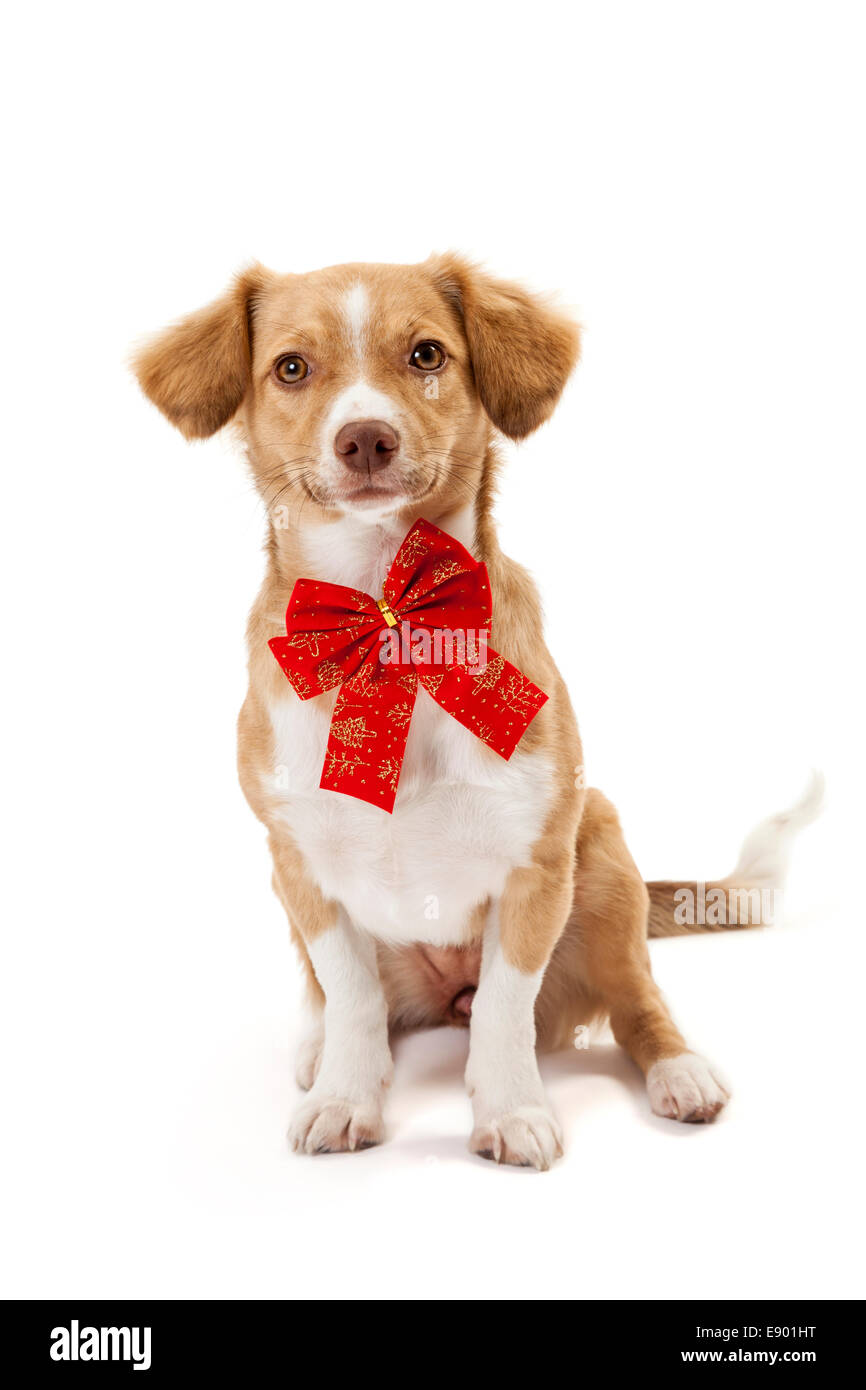 Cute dog wearing red bow isolated over white background - Stock Image