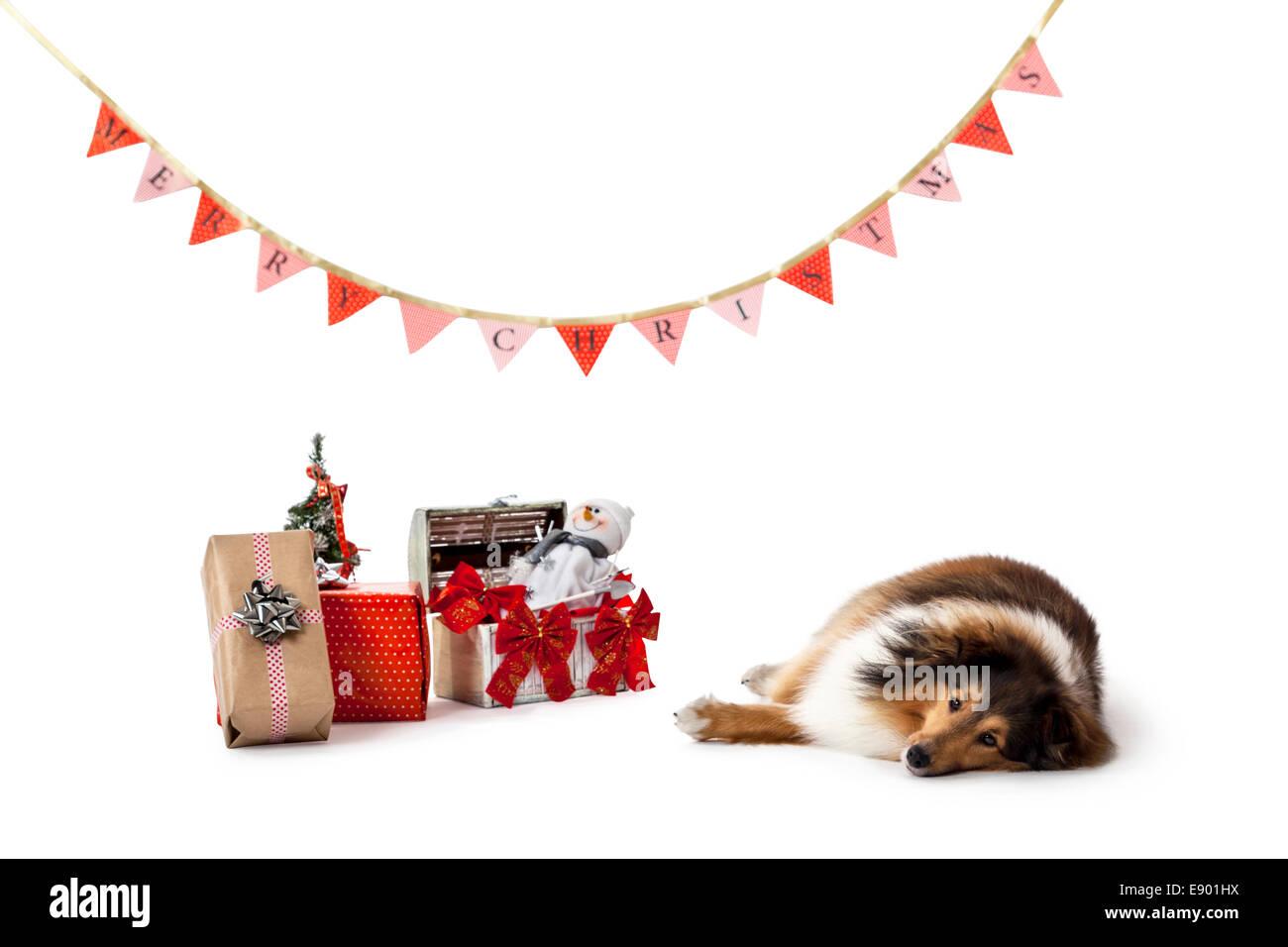 Shetland sheepdog lying on ground beside christmas gifts - Stock Image