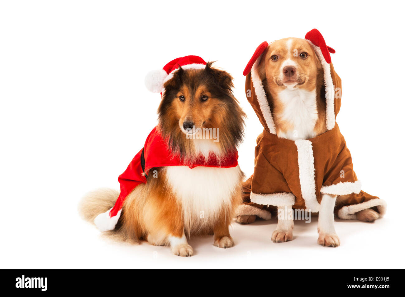 Cute two dogs wearing santa costume over white background - Stock Image