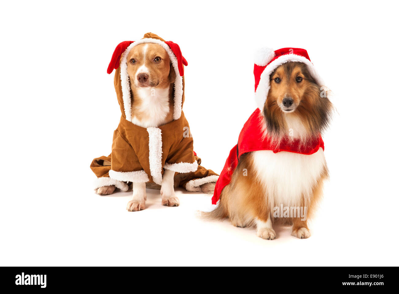 Portrait of two dogs wearing santa costume over white background - Stock Image