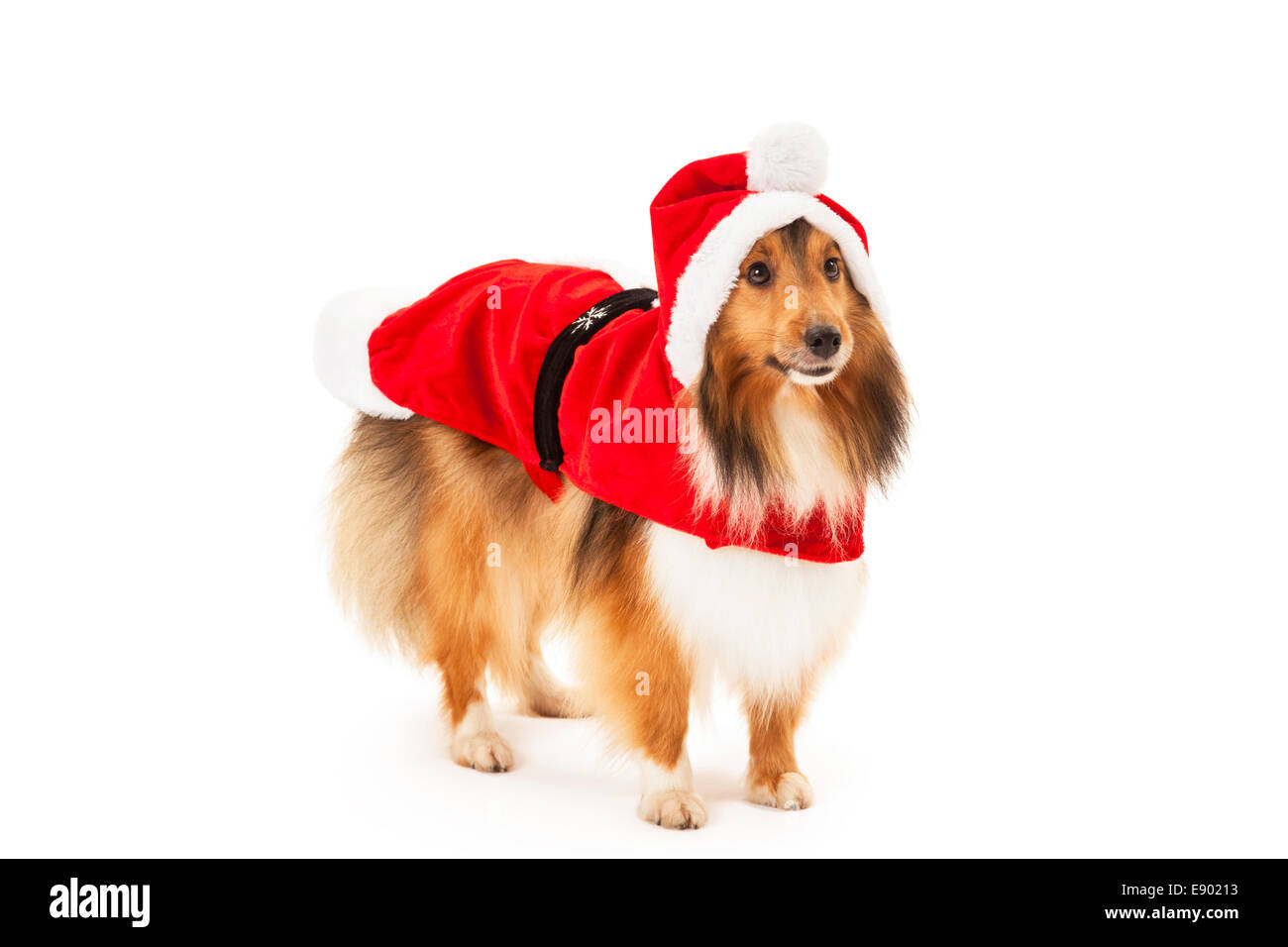Shetland sheepdog in santa dress over white background - Stock Image