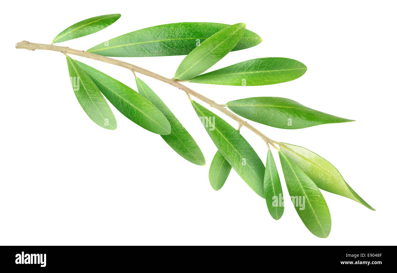 Olive branch isolated on white - Stock Image