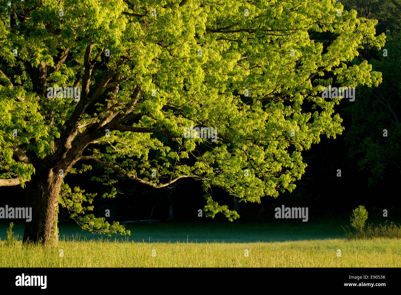 Tree, early morning Cade's Cove, Great Smoky Mountain National Park, Tennessee, USA   Dembinsky Photo - Stock Image