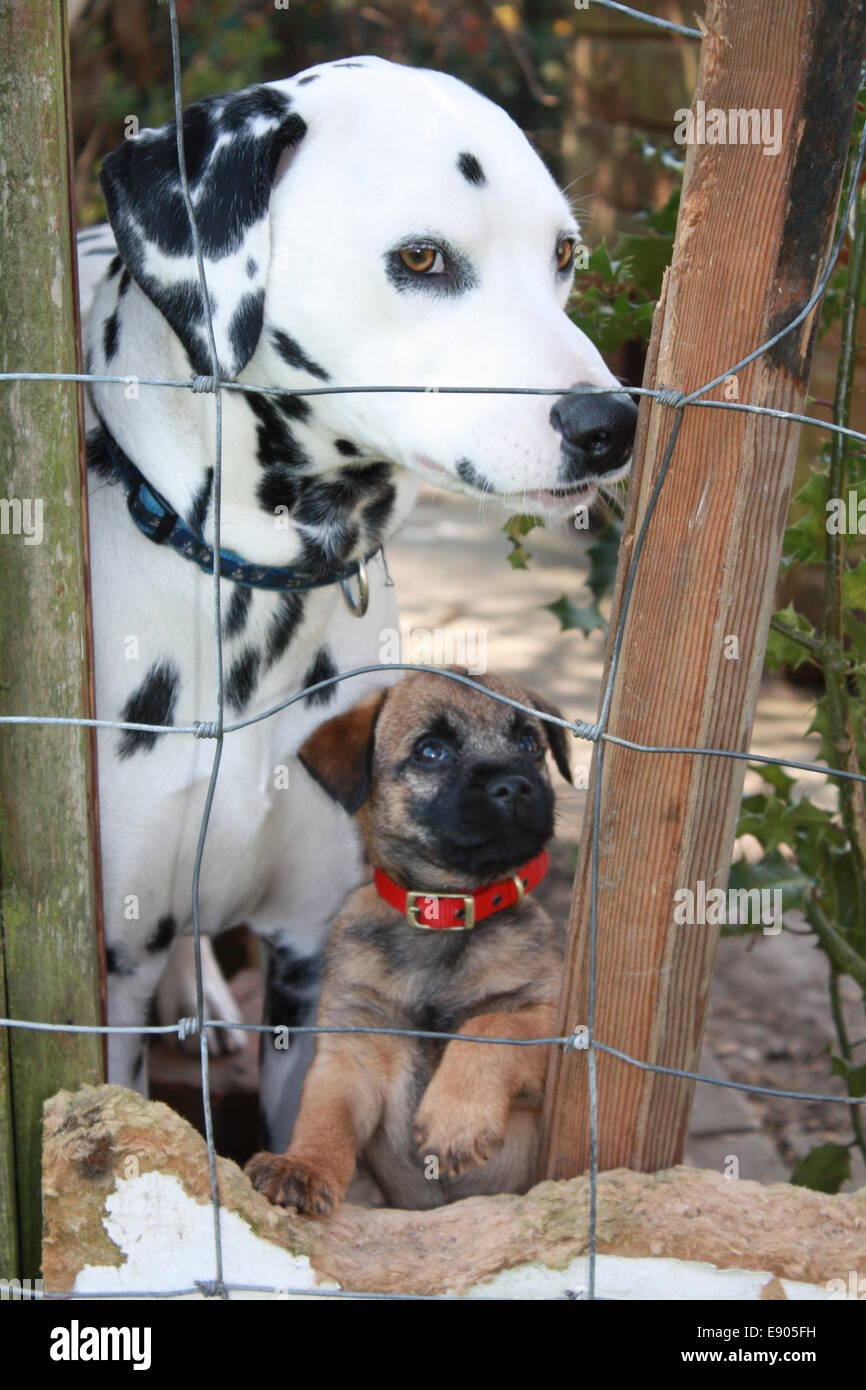 dalmatian and border terrier puppy - Stock Image