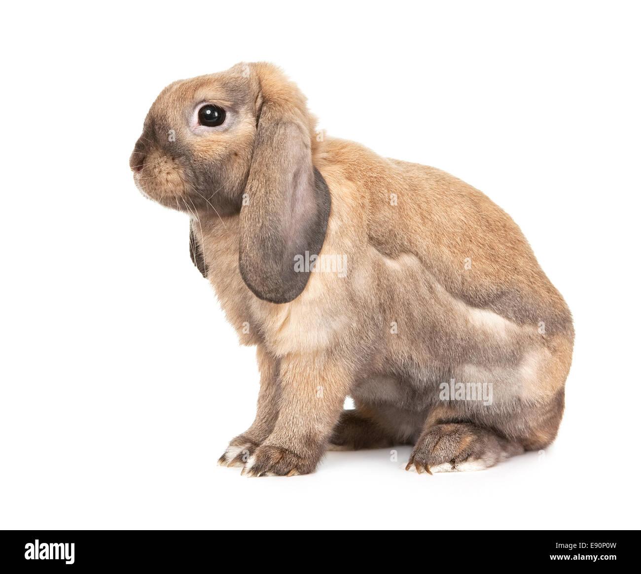 Rabbits are rams. Dwarf Rabbit Ram: breed description 16