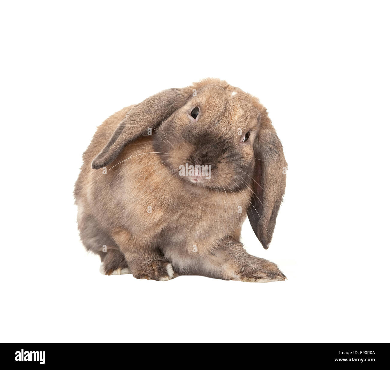 Rabbits are rams. Dwarf Rabbit Ram: breed description 38