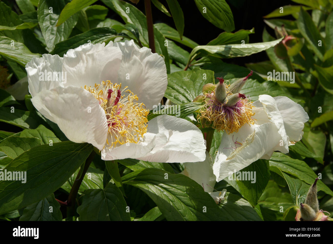 Paeonia Chalice, Prachtpfingstrose, Peony - Stock Image