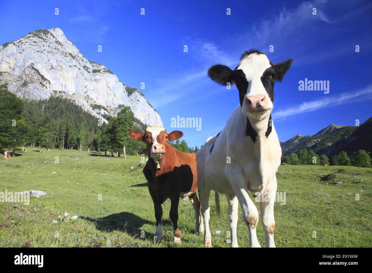 funny cows - Stock Image