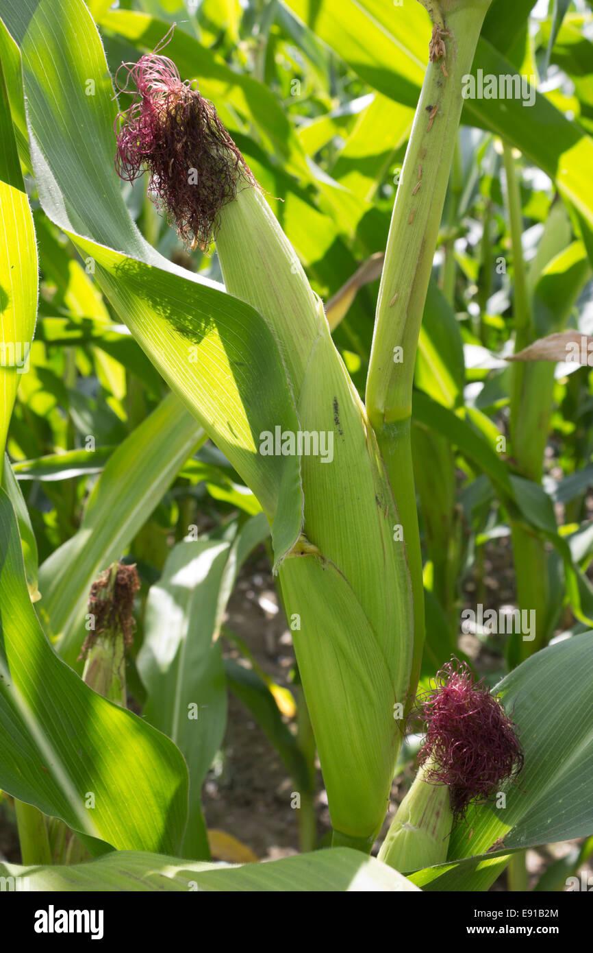 ear of sweet corn - Stock Image