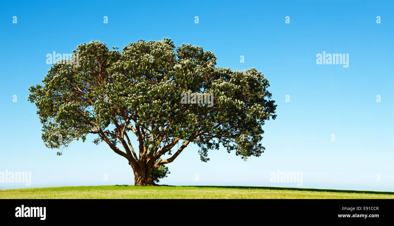 Lonely blossoming tree on the green field - Stock Image